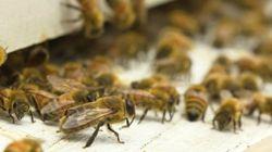 Ottawa tarde à protéger ses abeilles