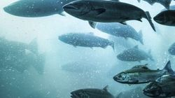 Saumon de l'Atlantique: le Groenland pratiquerait la