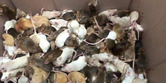 Au Canada, plus d'un millier de souris saisies dans une maison
