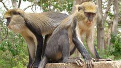 «Krak», «Krakoo», «Krak-oo»... C'est prouvé, ces singes