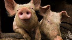 Controverse à l'ouverture du Festival du cochon de
