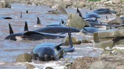 16 baleines-pilotes s'échouent en Nouvelle-Écosse