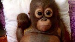 Rescapés, deux bébés orang-outans deviennent