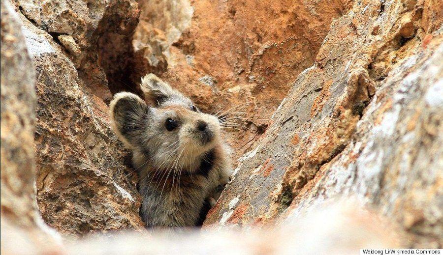 L'ili pika, un mammifère mignon des montagnes chinoises, pris en photo pour la 1ère fois en 20
