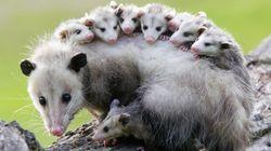Cet opossum pourrait vous sauver la