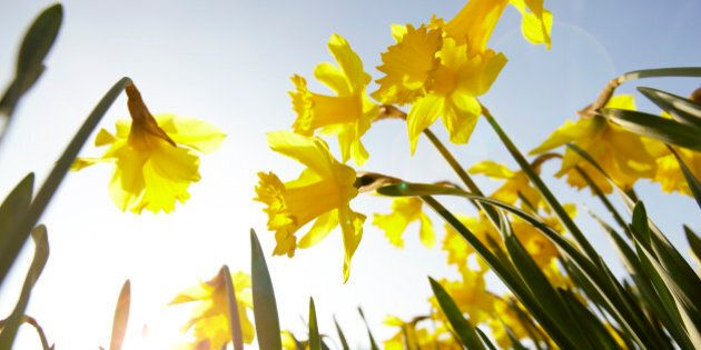 Low angle view of yellow daffodils against sunny blue