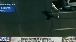 Deux lamas en cavale aux États-Unis agitent les réseaux