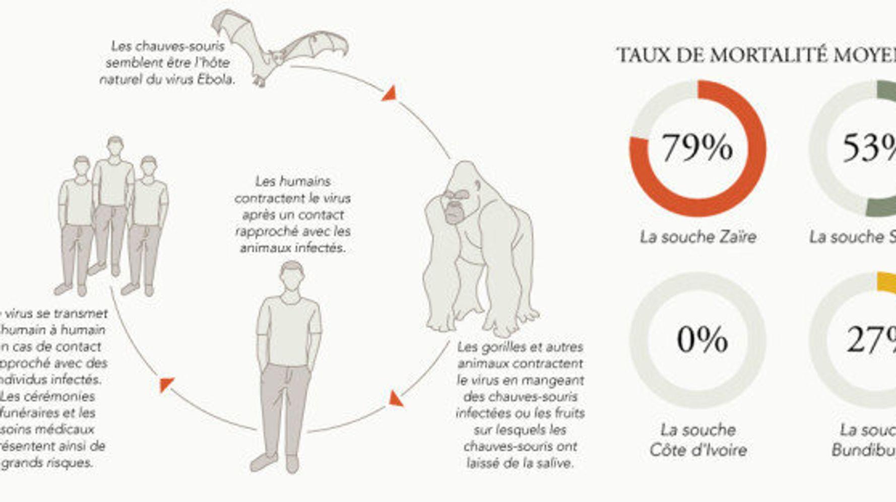 Virus Ebola : transmission, traitement, pays concernés, le