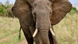 Des éléphants sortent d'une cure de