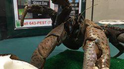 Le plus gros crabe du monde aperçu dans les rues de Hawaï