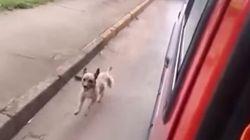 Ce chien a suivi sans relâche l'ambulance qui transportait son maître à l'hôpital