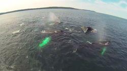 La majesté des baleines à bosse captée par un drone à Terre-Neuve