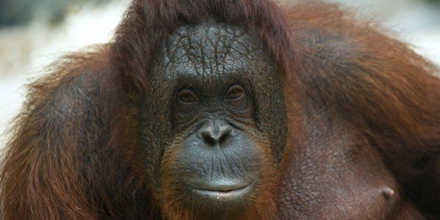 A female Orangutan poses in the Zoopark of Beauval at St Aignan on July 19, 2014. AFP PHOTO / GUILLAUME...