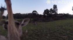 Ce kangourou n'aime vraiment pas les drones