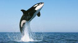 Les orques savent comment parler aux