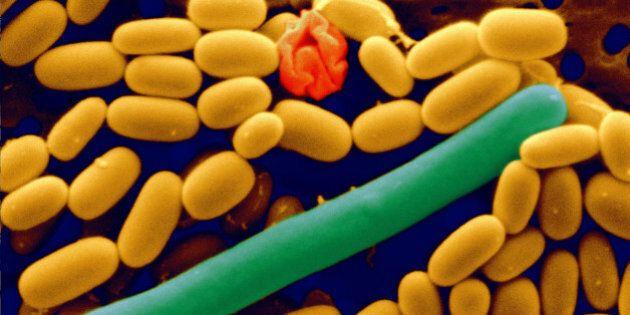 Certaines bactéries protègent contre les allergies