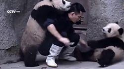 Il essaie de donner des médicaments à des pandas. Ils en ont décidé autrement