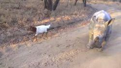 Un rhinocéros orphelin et un agneau: compagnons improbables