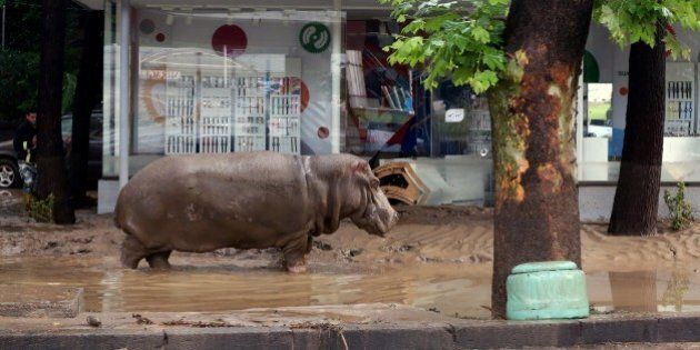 A hippopotamus walks along a flooded street in Tbilisi on June 14, 2015. Tigers, lions, jaguars, bears...