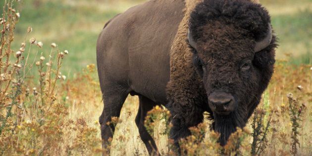 American Bison October 15, 2006 17 September | 2006 | type image Category:Featured pictures of the United