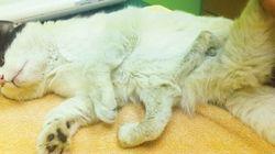 Chirurgies pour venir en aide à un chat né avec six pattes
