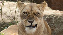 Cette lionne a bien fait rire les internautes