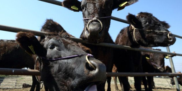 Wagyu beef cattle stand at Sekiguchi Farm in Kamisato, Saitama Prefecture, Japan, on Monday, March 24,...