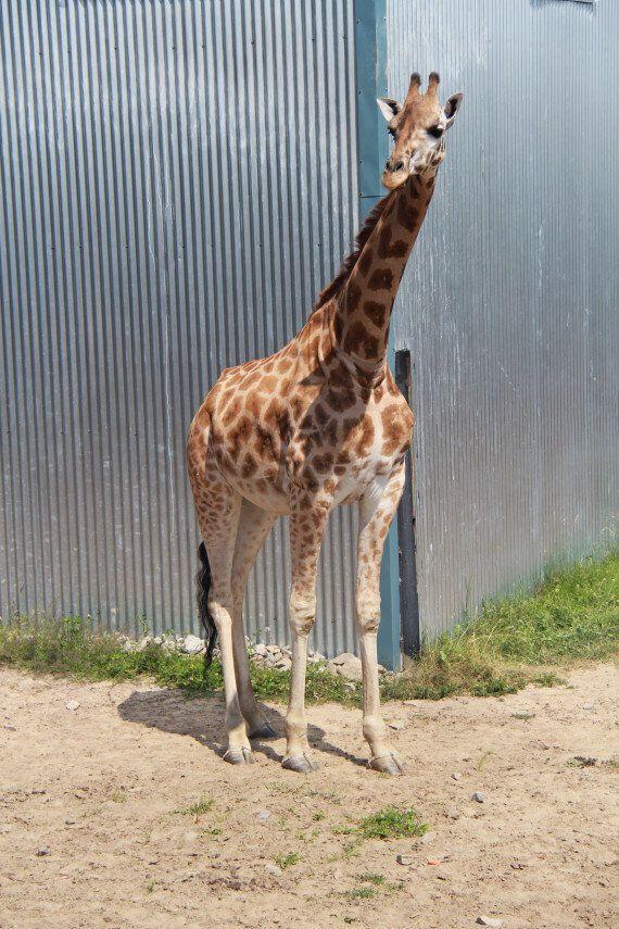 Une girafe verra bientôt le jour au Parc
