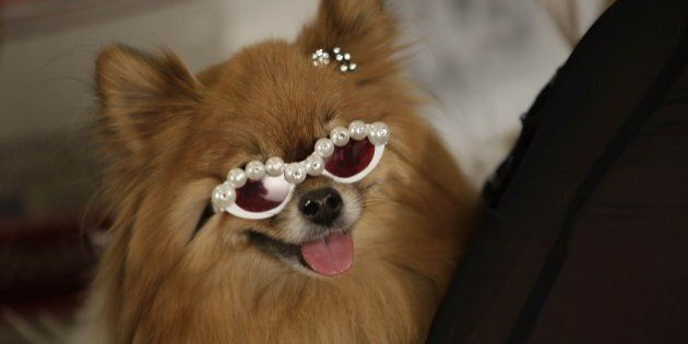 A dog wears sunglasses backstage during the pet fashion show, part of New York Fashion Week, February...