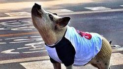 Jamon the Pig sur Instagram et Facebook: un cochon avec 360 000 fans et son propre dessin