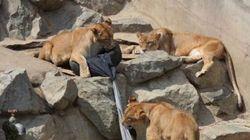 Tendance: des jeans déchirés par des animaux