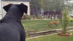 Ce chien n'aime pas du tout voir un renard s'amuser sur son terrain