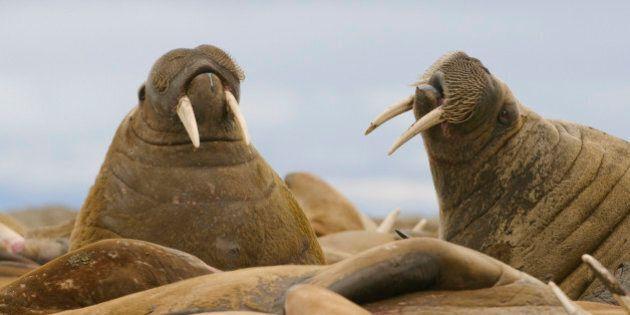 35 000 morses s'échouent en Alaska, le réchauffement climatique en