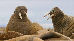 En Alaska, 35 000 morses se réfugient sur une plage faute de