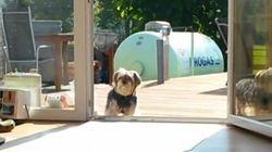Ce chien refuse d'entrer avant qu'on lui ouvre une porte invisible