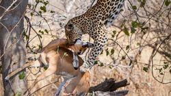 Un léopard plonge de 10 mètres pour attraper une
