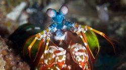 Des scientifiques reproduisent les yeux d'une crevette capable de voir le
