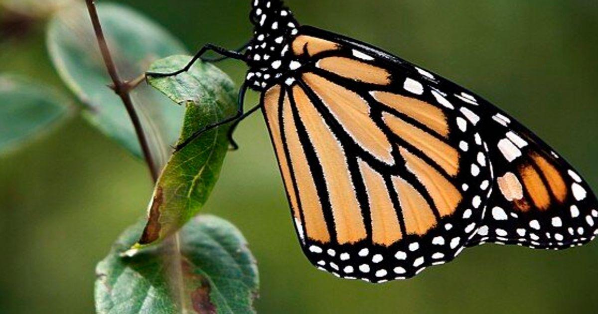 Mexique: La Population De Papillons Monarques Bondit De 69
