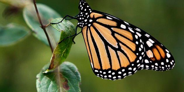 FILE - In this Aug. 13, 2012 photo, a Monarch butterfly, the state butterfly of Vermont and Minnesota,...