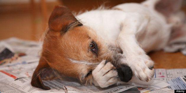 Vigile canin: une ville en Espagne embauche des détectives anti-crottes de