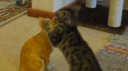 Ce chaton croit que cette statue de chat lui veut du mal