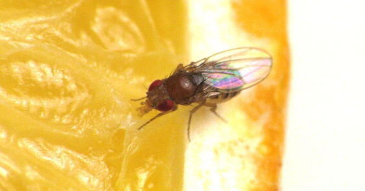 comment se d barrasser des mouches fruits vid o. Black Bedroom Furniture Sets. Home Design Ideas