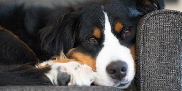 Pierre Paradis souhaite modifier le code civil pour que les animaux ne soient plus considérés comme des...