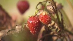 Des virus affectent la production de fraises