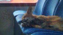 Un renard fait la sieste dans un bus