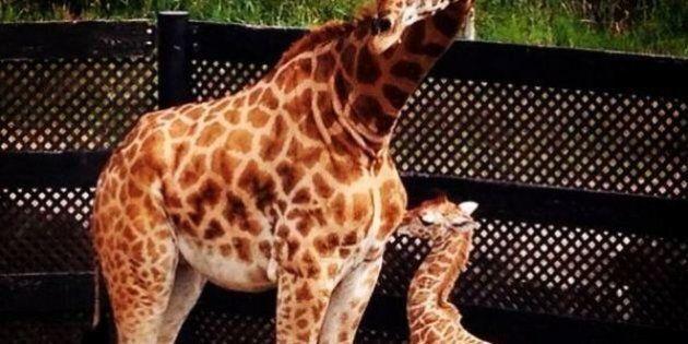 Naissance d'un girafon au Parc Safari