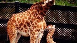 Un girafon est né au Parc Safari