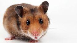 Un hamster remporte un concours de hot-dog