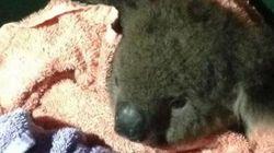 Un koala sauvé grâce au bouche-à-bouche