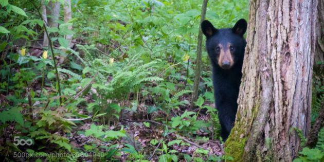 A bear cub plays peek-a-boo in the Great Smoky